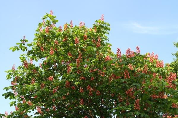 マロニエの木: 朝焼け・夕焼け写真日記